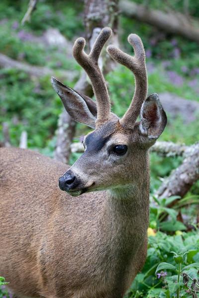 Balck-tailed Deer _MG_1815a