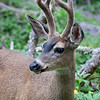 Balck-tailed Deer _MG_1815a