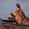 Hippo 7056