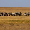 Elephants _MG_7591 (10x30)