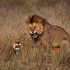Lions Mating 7533