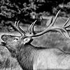 Elk Bugling _MG_4667