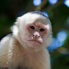 Capuchin Monkey VII