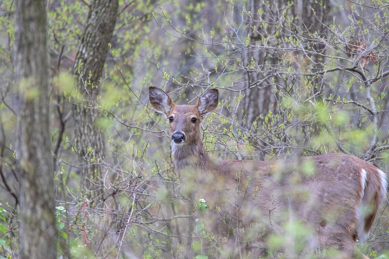 Deer 69A6740