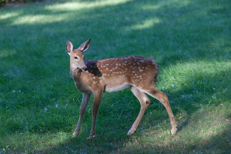 Deer 6614