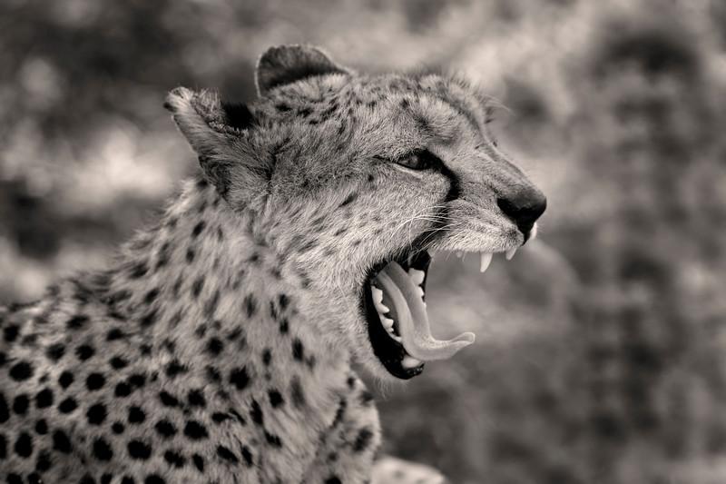Cheetah Portrait_MG_7302 b-w