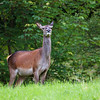 Hjort / Red deer (Cervidae elaphus)