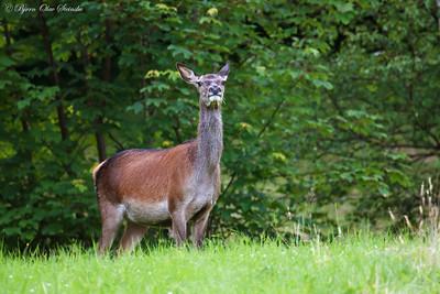 Hjort / Red deer (Cervidae elaphus)