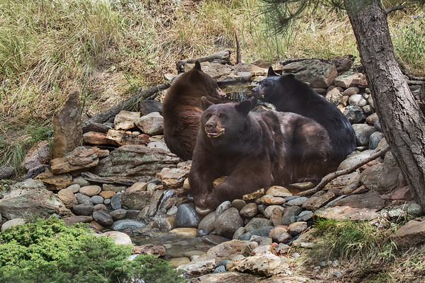 Black Bear sow and yearling cubs