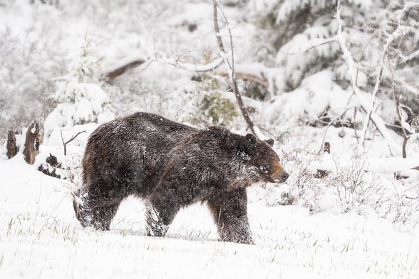 Grizzly Bear boar in snowstorm
