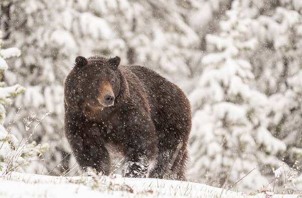 Grizzly Bear boar during snowstorm
