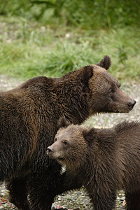 Grizzly Bear sow and yearling cub