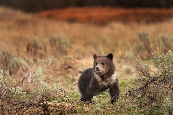 Grizzly Bear spring cub
