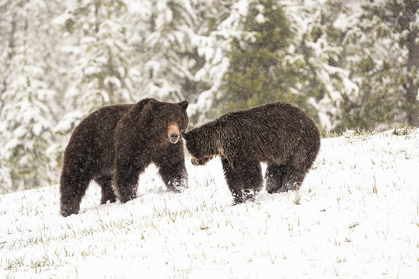 Grizzly Bear male and female
