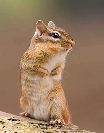Eastern Chipmunk, Wood County
