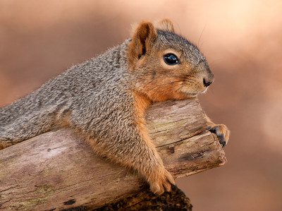 Just Chillin' Eastern Fox Squirrel, Wood County