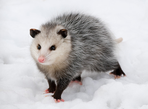Virginia Opossum, Wood County