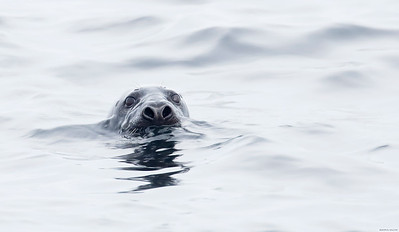 Stealthy Harbor Seal