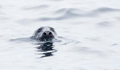Stealthy Harbor Seal