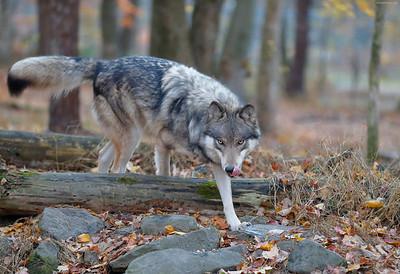 Timber Wolf @ Worthington State Forest, NJ