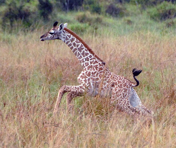Common Giraffe