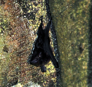 White-lined Sac-winged Bat