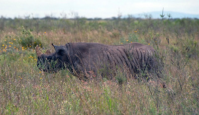 Black Rhinocerus