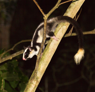 Striped Possum_0849