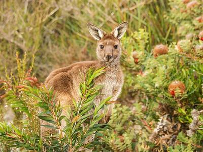Kangaroo, Cheyne's Beach, WA_5566
