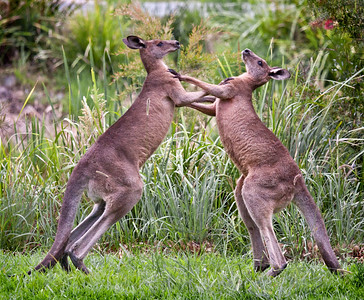 Eastern Grey Kangaroo - 327