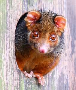 Ringtail Possum 146