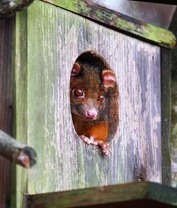 Ringtail Possum in nest box_163