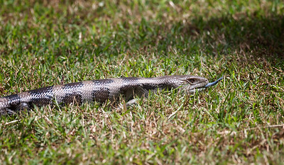 Blue-tongued Skink_4597