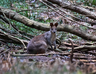 Wallaby - 6058