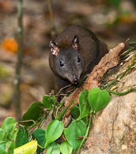 Musky Rat-kangaroo_1549