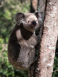 Koala_7438