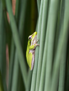 Eastern Sedge Frog - 5913