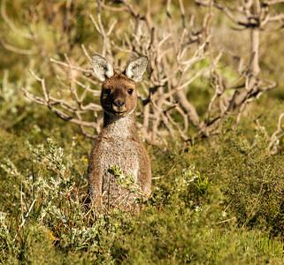 Kangaroo_6196
