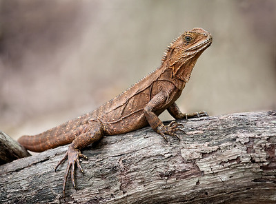 Eastern Waterdragon_075a