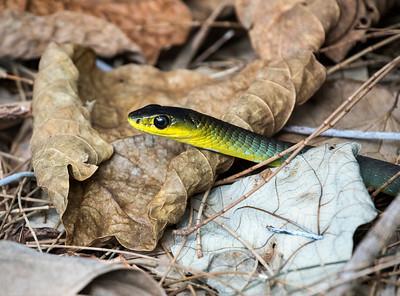 Tree Snake_1639