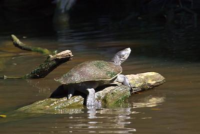 Freshwater Turtle_188