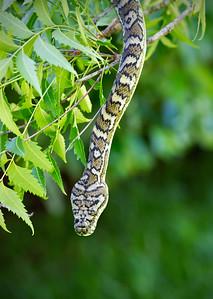 Carpet Snake_5159