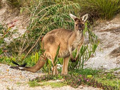 Kangaroo, Cheyne's Beach, WA_5563
