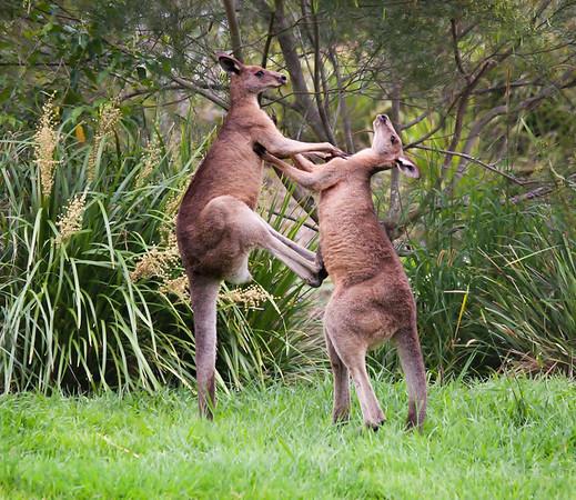 Eastern Grey Kangaroo -332-3