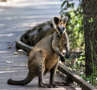 Swamp Wallaby_9989