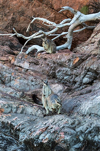 Short-eared Rock wallaby -8608