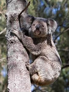 Koala,female_7447