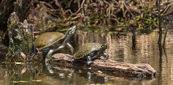 Freshwater Turtles_0347