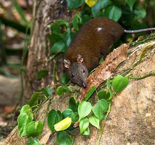 Musky Rat-kangaroo_1546