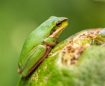 Eastern Dwarf Treefrog_077